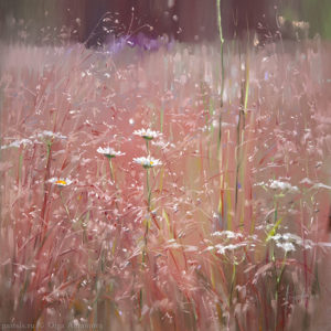Кенозерье. Розовый луг Kenozero. Pink meadow 65×65. 2014